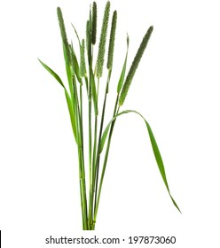 Closeup of timothy grass ( Phleum pratense)  isolated on white background