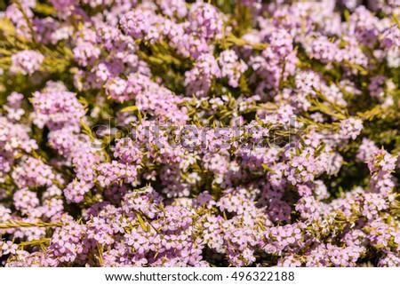 Closeup tiny pink bush flowers bloom stock photo edit now closeup of tiny pink bush flowers in bloom mightylinksfo