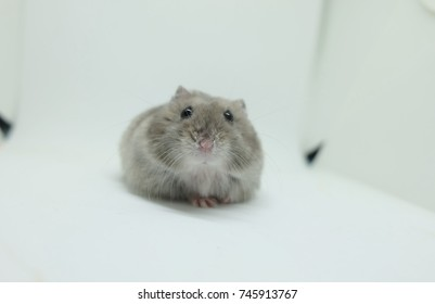 Close-up of a tiny winter white hamster looking at the camera while sitting in white background, selective focus