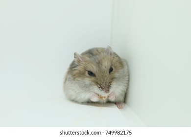 Close-up of a tiny winter white hamster eating food in white background