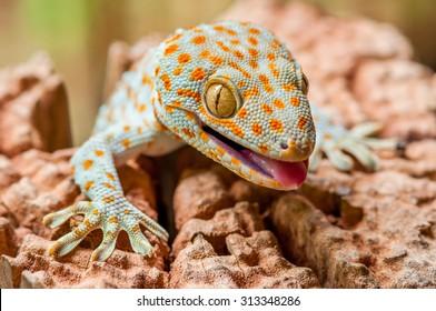 Closeup of a Tokay Gecko (Gecko gecko).