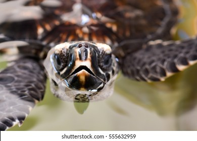 Close-up of the tomium of Hawksbill Sea Turtle off the coast of Fiji.It is critically endangered sea turtle belonging to the family Cheloniidae.
