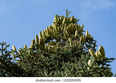 Close-up of top Numidian fir (Abies numidica) or Algerian fir branch with lot of large green female cones on blue sky background in Feodosia city in Crimea. Selective focus