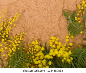 Closeup top view of bright yellow mimosa flowers and green branches isolated on brown craft paper with copy space. Floral holiday frame or border. Flatlay horizontal color photography.