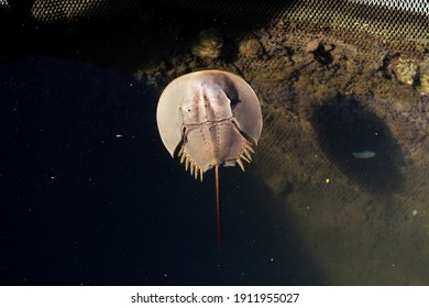 A closeup top view of a Horseshoe crab marine arthropod in a water