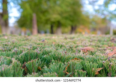 Closeup of the top of a well trimmed hedge. Tress in the background.