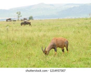 """Closeup of Topi (scientific name: Damaliscus lunatus jimela or """"Nyamera"""" in Swaheli) image taken on Safari located in the Serengeti National park, Tanzania"""