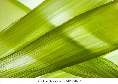 closeup of transparent corn husk