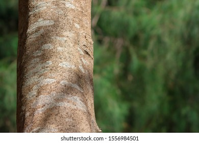 Close-up tree bark texture at the beach forest in Thailand. Copy space wallpaper.