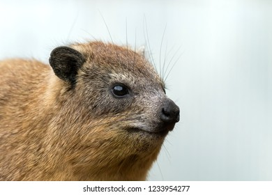 Closeup of Tree Hyrax, Tree dassie on bright background at Serengeti National Park in Tanzania, East Africa