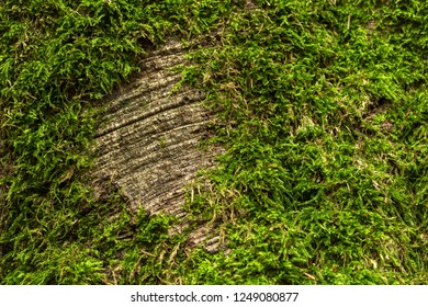 Closeup of a tree trunk covered with moss. Background