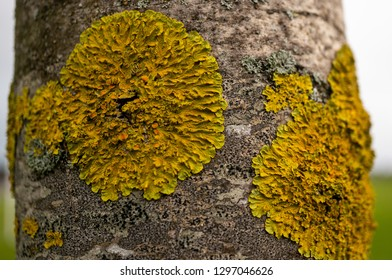 Closeup of a tree trunk covered in round shaped leafy yellow lichen, Xanthoria parietina.