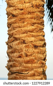 Close-up of a tree trunk of a date palm. Egypt, Africa.