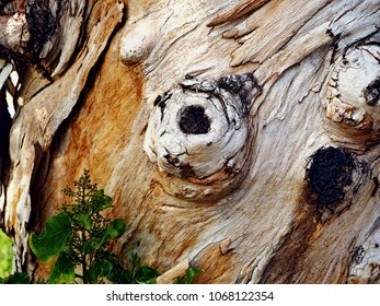 Close-up of a tree trunk from an eucalyptus tree. This tree turns its trunk several times around itself in its life.