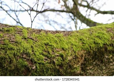 Schließung des Baumstamms mit grünem Moos als natürliche Anzeige, Waldhintergrund