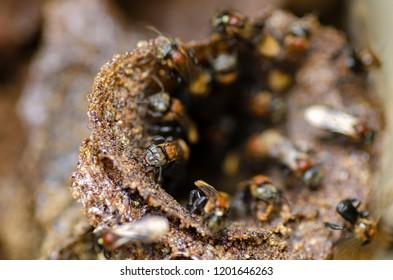 close-up trigona meliponini bee at their hive entrance