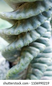 Closeup of tropical exotic spiral succulent green plant