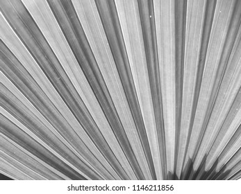 Closeup Tropical green leaf or Fiji Fan Palm leaf texture background - Monotone filter