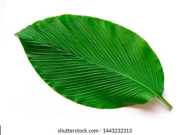 Closeup tropical large fresh green leaf isolated on white background with clipping path. Top view.