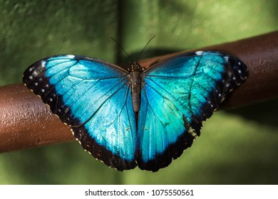 Closeup of the tropical Morpho peleides butterfly with iridescent blue wings.