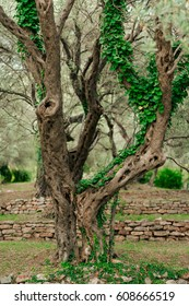 Close-up of the trunk of a tree of olives. Olive groves and gardens in Montenegro.
