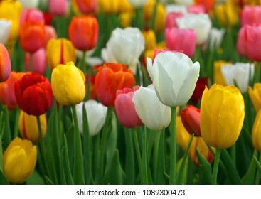 Closeup of Tulip flowers bloomed outdoor