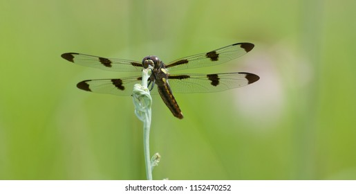Closeup of twelve-spotted skimmer dragonfly (Libellula pulchella) perched on top of a plant stem, with green muted background