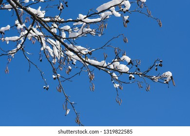 Close-up of a twig, blossoming buds. The turn of winter and spring. Beautiful sunny weather.