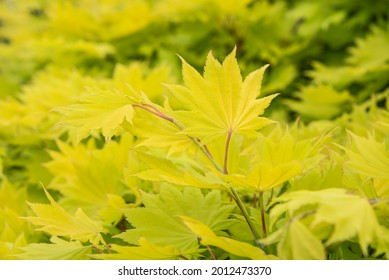 close-up of a twig of a fullmoon or sirasawa maple with fresh yellowish leaves in sunshine