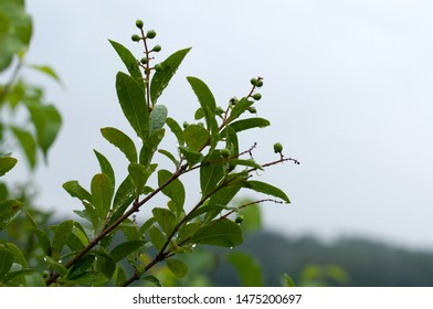 close-up of twigs of a privet shrubs with water drops on leaves on rainy summer day