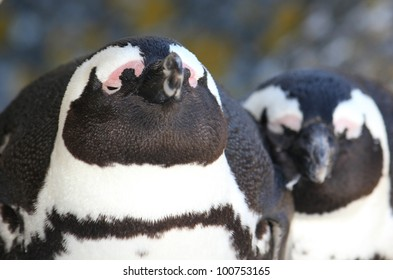Closeup of two African Penguins