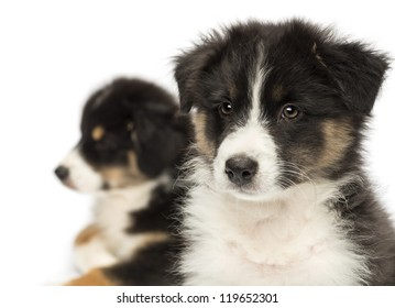 Close-up of Two Australian Shepherd puppies, 2 months old,  focus on foreground against white background