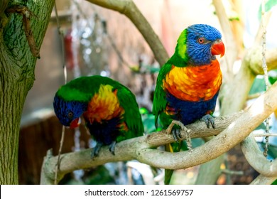 Closeup of two beautiful and colorful Lorikeet Green-naped birds couple (Trichoglossus Haematodus) Also Known As A Rainbow Lorikeet, standing on tree branch and looking around