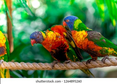 Closeup of two beautiful and colorful Lorikeet Green-naped birds couple (Trichoglossus Haematodus) Also Known As A Rainbow Lorikeet, standing on bridge rope and playing together
