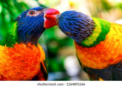 Closeup of two beautiful and colorful Lorikeet Green-naped birds couple (Trichoglossus Haematodus) Also Known As A Rainbow Lorikeet, standing on tree branch, kissing and falling in love