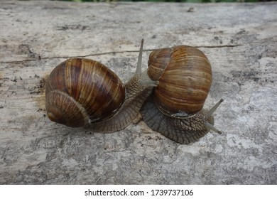 Close-up of two brown snails approaching each other on a bright tree trunk.