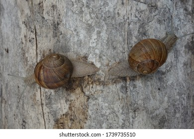 Close-up of two brown snails on a tree trunk that separate from each other.
