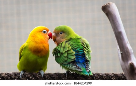 Closeup of two colorful parakeets