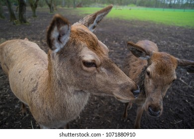 closeup of two curious deer in a park
