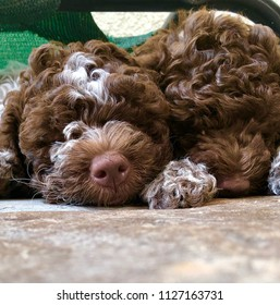 Closeup of two cute lagotto Romagnolo Puppies sleeping.