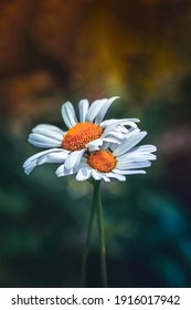 Close-up of two daisy flowers embracing each other. Tiny fly on the white petal. Dark blue, green and orange background.