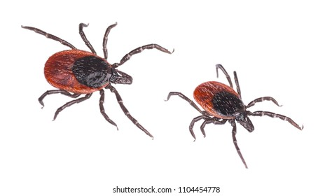 Close-up of two deer ticks. Castor bean tick. Ixodes ricinus. Detail of dangerous biting parasites. They carry infections such as encephalitis and Lyme borreliosis. Isolated on white background.