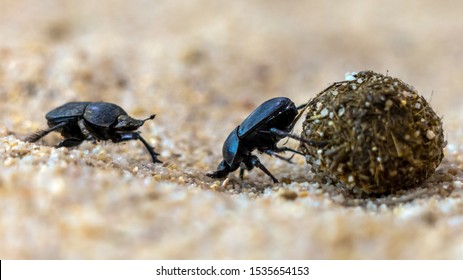 Closeup of two dung beetles fighting against each other