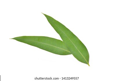 Close-up Two Eucalyptus leaves isolated on white background