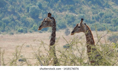 closeup of two giraffe in profile in their natural habitat, moving away from acacia trees head and necks towering as they gaze placidly over the landscape of Savannah and trees