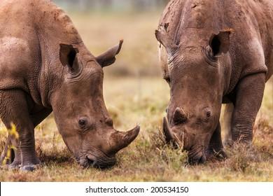 Close-up of two grazing White Rhinos in Lake Nakuru National Park, Kenya