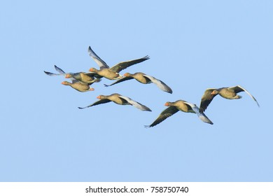 Closeup of two greylag geese (Anser Anser) in flight against a blue sky