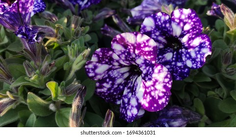 Close-up of two large and several small purple-blue and violet spotted flowers of petunias Night sky,or Starry night,among fleecy pubescent dark green foliage.Hybrid species bred by German breeders