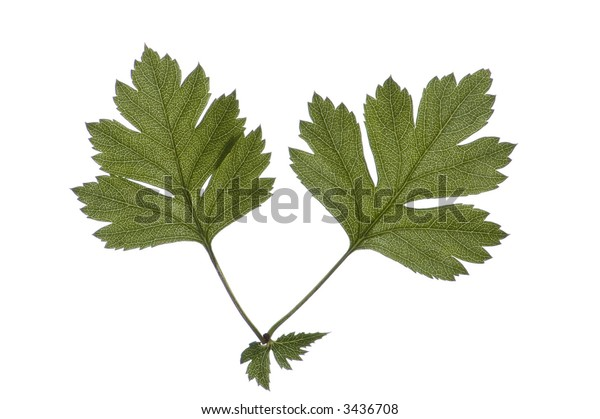 close-up of two leaves of hawthorn on white