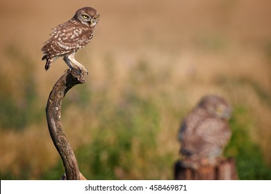 Close-up two Little owl, Athene noctua, blured adult in foreground and  sharp juvenile perched on branch  against colorful grassland in background. Hungary, Europe.
